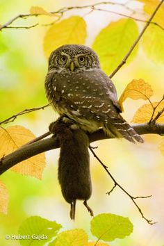 Eurasian Pygmy-Owl (Glaucidium passerinum) Bird with prey.
