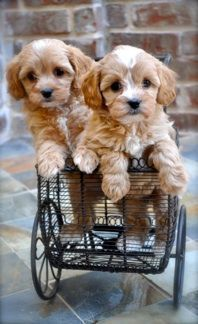 cavapoo - this has to be the cutest dog breed ever!! Maybe Ill have one of these after the goldendoodle.. :)