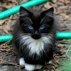 This kitten looks like a cross between my tuxedo cat and my Main Coon. I wonder if his eyes will stay blue ? Usually kittens eyes are changing when they are this big.  So cute.