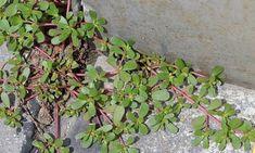 Se encontrar esta planta no seu quintal, não a arranque!