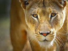 Resultado de imagen para cuadro de leonas