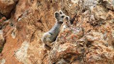 つぶらなひとみ、テディベアのような顔、絶妙な長さの耳。この愛らしさ炸裂の動物はイリナキウサギ(学名:Ochotona iliensis)という。   中国北西部、ウイグル自治区とキルギスとの国境に近い天山山脈の岩場に生息するナキウサギの1種で、1983年に中国の研究者、リー・ウェイドン氏によって偶然発見され新種と認定された。以来ほとんど目撃例がないことから、2008年、国際自然保護連合(IUCN)が絶滅危惧種に指定した。昨年2014年の夏、ウェイドン氏によって約20年ぶりにその姿が発見されたという。 スポンサードリンク