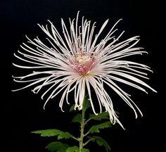 Pink Splendor Chrysanthemum