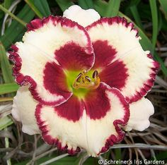 EM, 5 inch flowers Ev, Tet, Beautifully formed cream with giant red edging and red eye. Green throat. Parentage: MISTER LUCKY x AWESOME CANDY x PANDA BEAR x AWESOME...