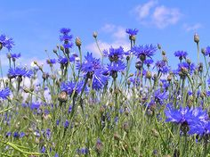 Knapweed or Cornflower is official Flowers of the Germany. Interesting information about Knapweed or Cornflower, Germany State Flower. Fresh Flowers, Blue Flowers, Wild Flowers, Beautiful Flowers, Exotic Flowers, Yellow Roses, Pink Roses, Flower Petals, Flower Beds