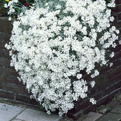 Cerastium (Snow in Summer) Rampant creeping, silver leafed white flowered ground cover perennial. Will grow anywhere, even in very poor dry soil. Flowers from spring to autumn. Summer Plants, Summer Flowers, White Flowers, Beautiful Flowers, Flowering Ground Cover Perennials, Flowering Plants, Snow In Summer, Ground Cover Plants, Gardens