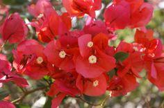 flor de trinitaria roja. DFC