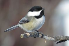 The Black-capped Chickadee was the 10th most spotted bird in the Mississippi Flyway during last year's Great Backyard Bird Count. Join us this year February 14-17.