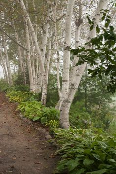 Birch trees, path, hosta perennials, shade garden.... Only thing about Birch trees, they have multiple trunks spread out and they have very shallow root system, so my tree guy says these trees are fabulous but very fragile to winds, heavy snow, ice, etc.