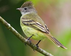Yellow-bellied Elaenia: a tyrant flycatcher: breeds from S MX and the Yucatán Peninsula through Cent & S.A. to N Argentina, and on Trinidad and Tobago
