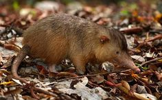 The Hispaniolan solenodon is one of only a few mammal species capable of producing toxic saliva, which it uses to immobilise its invertebrate prey. This endangered mammal is found solely on the island of Hispaniola in the Dominican Republic/Haiti. Reptiles, Mammals, Unique Animals, Cute Animals, Bizarre Animals, Small Animals, Deep Sea Sharks, Coral Reef Ecosystem, Bat Photos