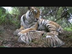 Tigress Julie, star of Living with Tigers, gave birth to 5 cubs on the 1st of November 2009. One cub is white and 4 are normal. www.facebook.com/tigeralert M...