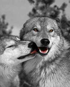 All dogs are descendants of Wolves!
