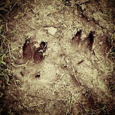 Follow the track! Track and trace the reddeer. #reddeer #hunting #nature #bigreddeer #deertracks #danishhunting #riflehunting #northernhuntingclub #riflehunt #dkhunting #danishhunter www.northernhunting.com