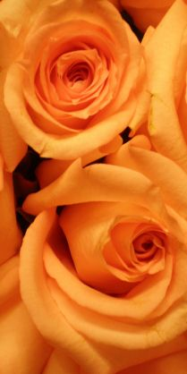 Orange Roses - Not much says happy and offbeat then a mass planting of bright orange roses.