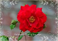 Red Rose and verse