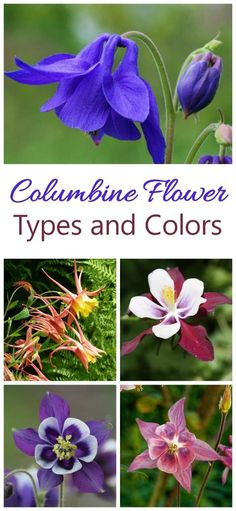 Growing Combine - How to Grow Aquilegia for Unique Bell Shaped Flowers Columbine flowers come in all the colors of the rainbows and in doubles and even triple flowers Hardy Perennials, Flowers Perennials, Planting Flowers, Flowers Garden, Purple Garden, Planting Bulbs, Flower Gardening, Growing Flowers, Colorful Flowers