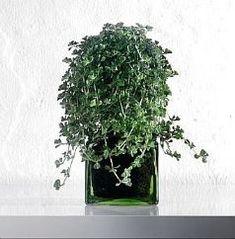 E' una pianta strisciante, una di quelle facili da coltivare. Il suo portamento rampicante e frondoso la rende ideale per cestini pensili e ampi contenitori [...]