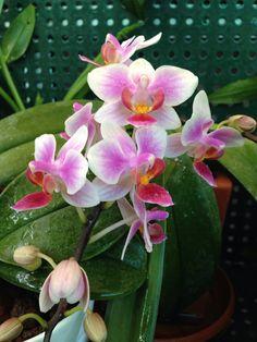 Phalaenopsis hybrid NoID