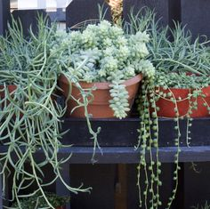 Three amazing succulents that hang and trail. Perfect for hanging baskets on the patio. From left to right: Fish Hooks, Donkey Tail & String of Pearls.  http://rogersgardens.com/outdoor-gardens-garden-rooms/