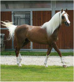 Palomino Sabino Part bred Arabian Stallion.
