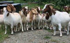 Peluang Bisnis Ternak Kambing, Bernilai Ekonomi Tinggi - http://www.ruangtani.com/peluang-bisnis-ternak-kambing-bernilai-ekonomi-tinggi/