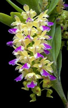 ✯ Orchid (Aerides houlletiana) From: RF Orchids Inc., please visit Unusual Flowers, Rare Flowers, Amazing Flowers, Pretty Flowers, Orchid Flowers, Cactus Flower, Purple Flowers, Tropical Flowers, Orquideas Cymbidium