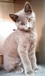 Skeeter is an adoptable Russian Blue Cat in Rome, OH. Meet Skeeter, a four and a half month old, Russian Blue Mix kitten. This extremely loving and affectionate kitten was rescued after being surrende...