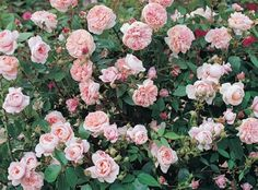 Colette™ | Star Roses & Plants. Strong damask-citrus scent 8-10' tall.