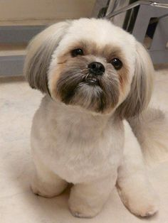 grooming styles for a shih poo puppy Chien Shih Tzu, Perro Shih Tzu, Shih Tzu Hund, Shih Tzu Puppy, Shih Tzus, Dog Grooming Styles, Pet Grooming, Shihtzu Grooming, Corte Shitzu