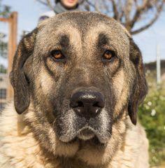 Seconde Chance, Adoption, Languedoc Roussillon, Labrador Retriever, Dogs, Animals, Adopt A Dog, Big Dogs, Pets