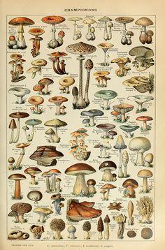 Mushrooms, according to Adolphe Millot (1857–1921)  ~~  Houston Foodlovers Book Club
