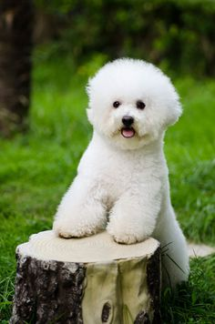 here's a secret - this is how a bichon should look, if you rather like the poodle look (short on the top, and longer ears).get a poodle! I'd love to have like three of these! Best Dog Breeds, Best Dogs, Cute Puppies, Dogs And Puppies, Doggies, Bichon Havanais, Baby Animals, Cute Animals, Hypoallergenic Dog Breed