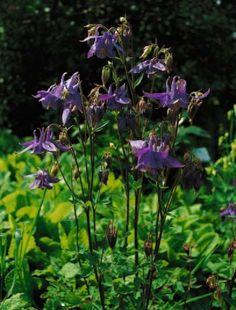Aquilegia vulgaris, zu deutsch Gemeine Akelei genannt.