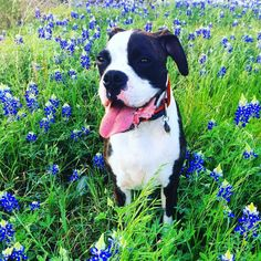 The blue bonnets are here y'all!  #boxersofinstagram #boxer #puppy #dogsof512 #caninesofaustin #dogsofinstagram #austin #texas #atx #blue #bluebonnets #smile #happy #spring #springhassprung #imcute by hoolie_the_boxer