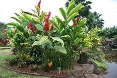 Alpinia purpurata, the Red Ginger plant Tropical Backyard, Tropical Landscaping, Landscaping Plants, Front Yard Landscaping, Tropical Plants, Ginger Plant Flower, Outdoor Plants, Outdoor Gardens, Veggie Gardens