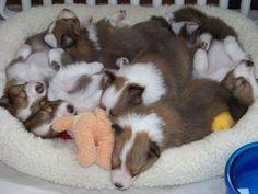 Sheltie puppies!