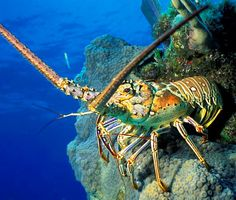 Key West Spiny Lobster