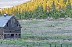 Elk grazing at 97 barn