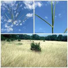 """""""Bothriochloa ischaemum var. songarica, better known as King Ranch (or KR) bluestem, is an ecological threat because its presence threatens the…"""""""
