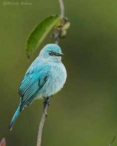 VERDITER FLYCATCHER (Eumyias thalassinus) is an Old World flycatcher found in the Indian subcontinent, especially in the Lower Himalaya. It is named after its distinctive shade of copper-sulphate blue and has a dark patch between the eyes and above the bill base. The adult males are intense blue on all areas of the body, except for the black eye-patch and grey vent. Adult females and sub-adults are lighter blue.