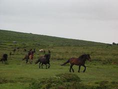 Moors of England Dartmoor Ponies