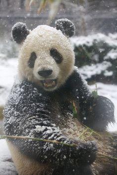 Li Li the Giant Panda