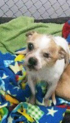 Kalamazoo Mi Chihuahua Meet Rin A Pet For Adoption Love