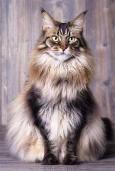 30+ Maine Coon Cats That Will Make Your Cat Look Tiny #cats