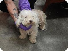 Pikeville, KY - Maltese Mix. Meet Girl, a dog for adoption. http://www.adoptapet.com/pet/16664623-pikeville-kentucky-maltese-mix