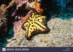 Chocolate Chip Sea Star. Starfish. Underwater In The Galapagos ...