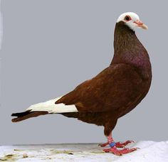 Gier Pigeon (Red Bald)