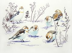 Snow buntings. Original watercolour. Bird illustration.