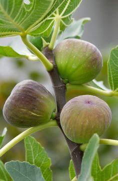 Organic pesticide spray for fruit trees